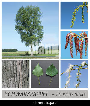 poplar, black poplar, populus, nigra, fruit stands, short shoots, slow-motion - Stock Photo