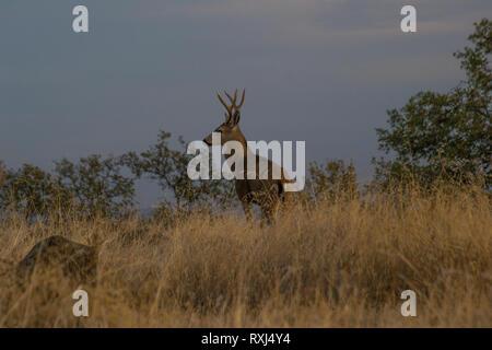 A large buck California Mule Deer on a hillside during a summer evening. - Stock Photo