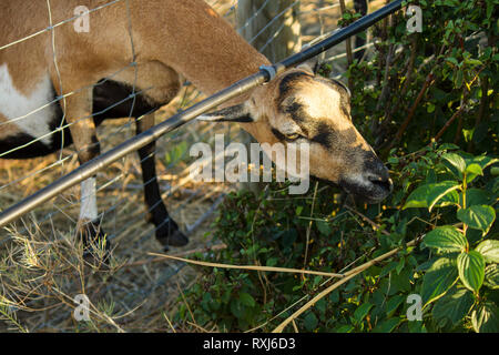 Head of Goat of the Alpine breed and closeup. Goat eating bush behind the fence. Pasture for animals, summer day. Countryside Austria - Stock Photo