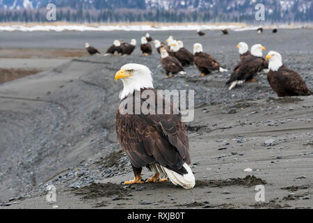 Bald Eagles, Haliaeetus leucocephalus, on the beach - Stock Photo