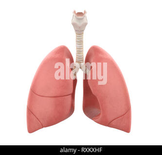 Human Lungs Anatomy Isolated - Stock Photo