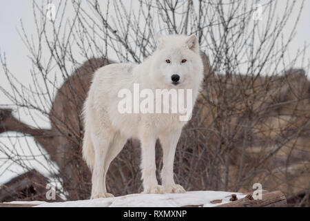 Wild alaskan tundra wolf is looking at the camera. Canis lupus arctos. Polar wolf or white wolf. Animals in wildife. - Stock Photo