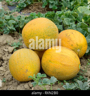 Melons, plucked from the garden, lay together on the ground. Ripe melon new crop. - Stock Photo