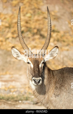 A male waterbuck on the Chobe Rivers Shore. - Stock Photo
