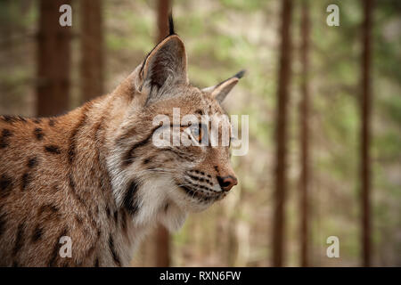 Detailed close-up of adult Eurasian lynx in forest. - Stock Photo