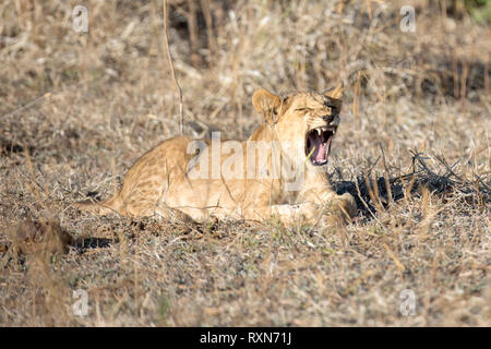 A young lion cub yawning showing its teeth - Stock Photo
