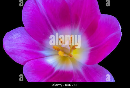 Still life bright colorful macro of the inner of a single isolated pink violet glossy open tulip blossom on black background with detailed texture - Stock Photo