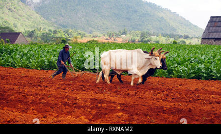 VINALES VALLEY, CUBA February 2017: Cuban farmer ploughing field with plough pulled by oxen on tobacco plantation. - Stock Photo