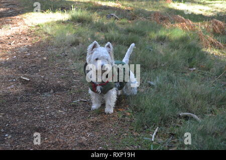 West Highland White Terrier Enjoying A Field Day With His Camouflage Coat In The Mountain Range Of Gredos. Nature, Animals, Landscapes. December 21, 2 - Stock Photo