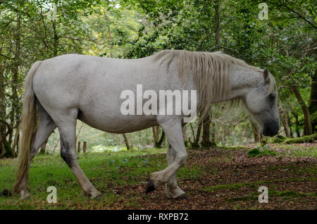 A portrait of a wild New Forest pony,  one of the recognised mountain and moorland or native pony breeds of the British Isles. - Stock Photo