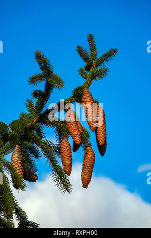 Brown fir cones on green Norway Spruce, Tarascon sur Ariege, Ariege, French Pyrenees, Pyrenees, France, EU - Stock Photo