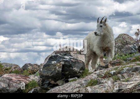 High in the Colorado Rockies I was able to photograph this mountain goat. - Stock Photo