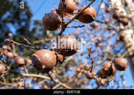 Oak Galls on oak branch. Blue sky background - Stock Photo