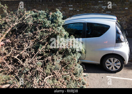 A tall evergreen tree, blown over by high winds, crushes the front of a car and completely blocks the A309 Waldegrave Road for a number of hours. - Stock Photo