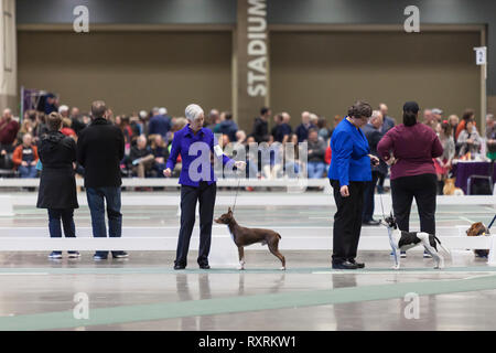 Seattle, USA. 09th Mar, 2019. Miniature Pinschers with their handlers in the ring at the 2019 Seattle Kennel Club Dog Show. Approximately 160 different breeds participate in the annual All-Breed dog show. Credit: Paul Christian Gordon/Alamy Live News - Stock Photo