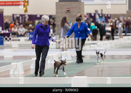 Seattle, USA. 09th Mar, 2019. Miniature Pinschers are walked in the ring at the 2019 Seattle Kennel Club Dog Show. Approximately 160 different breeds participate in the annual All-Breed dog show. Credit: Paul Christian Gordon/Alamy Live News - Stock Photo