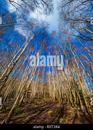 Silver Birch trees with blue sky in Kilburn Forest, North Yorkshire, UK. - Stock Photo