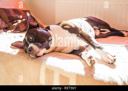 Big lazy Stafford dog at home, lying on bed, lazy resting, suspicious look - Stock Photo