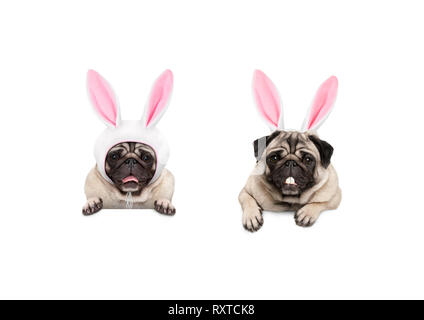 two cute pug puppy dogs, dressed up as easter bunnies, hanging with paws on white banner, isolated - Stock Photo