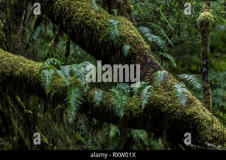 Licorice Fern, Polypodium glycyrrhiza, growing on Bigleaf Maple, Acer macrophyllum, in Hoh Rainforest, Olympic National Park, Washington, United States - Stock Photo