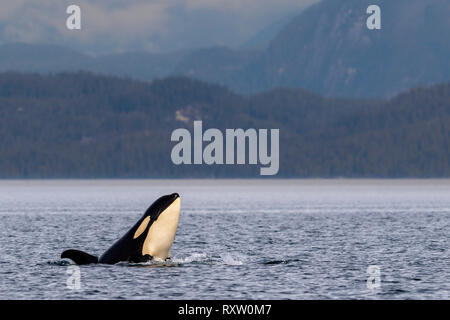 Northern resident orca whale (killer whales, Orcinus orca) spy-hopping in Queen Charlotte Strait close to the Great Bear Rainforest, British Columbia  - Stock Photo