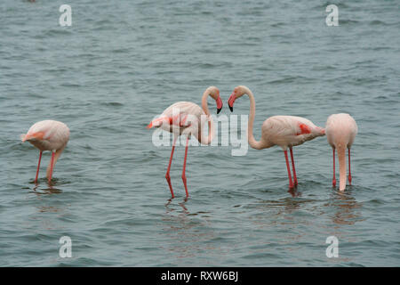 The Greater Flamingo (Phoenicopterus roseus) at Walvis Bay,western Namibia,Africa, This is the largest and most widespread member of the flamingo family