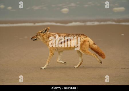 Black-backed Jackal (Canis Mesomelas). Near Sandwich Harbour on the Atlantic coast, Walvis Bay,western Namibia,Africa - Stock Photo