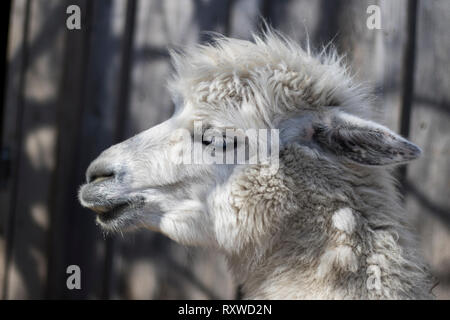 Llama close up portrait taking a break from eating. Large white fluffy mammal. Alpaca pack animal macro view. - Stock Photo