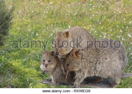 Mother quokka with two joey - small kangaroos living on Rottnest Island, Western Australia - Stock Photo