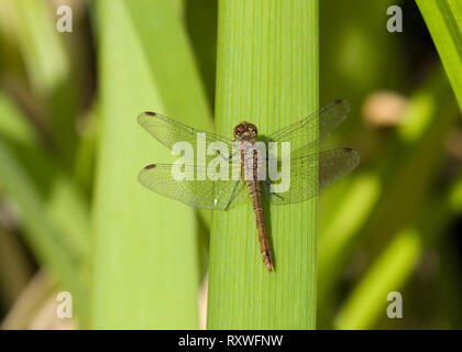 Ruddy Darter, Sympetrum sanguineum, single adult female resting on leaf, Worcesreshire, UK - Stock Photo