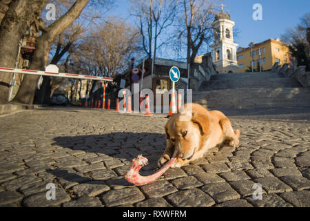 Low angle view of a a brown stray dog chewing a big bone, outside on a paved street with church in the background - Stock Photo