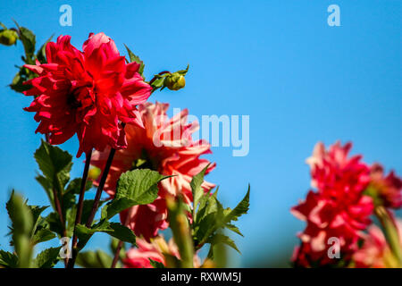 Red dahlia on background of blue sky. Dahlia is mexican plant of the daisy family, which is cultivated for its brightly colored single or double flowe - Stock Photo