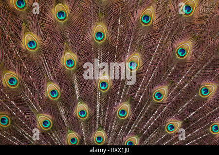 Plumage of the Indian peafowl (Pavo cristatus), also known as the blue peafowl. - Stock Photo