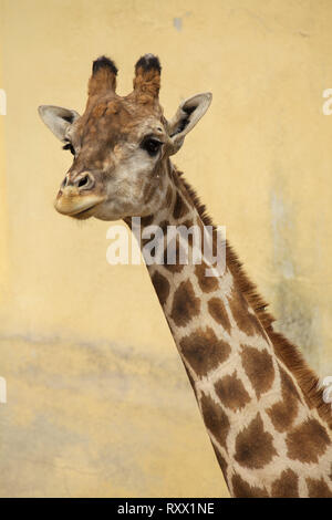 Angolan giraffe (Giraffa camelopardalis angolensis), also known as Namibian giraffe. - Stock Photo