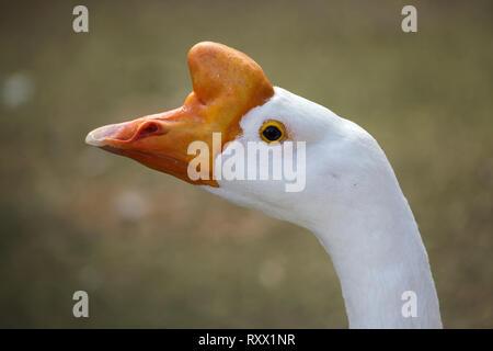 Domestic goose (Anser cygnoides domesticus). - Stock Photo