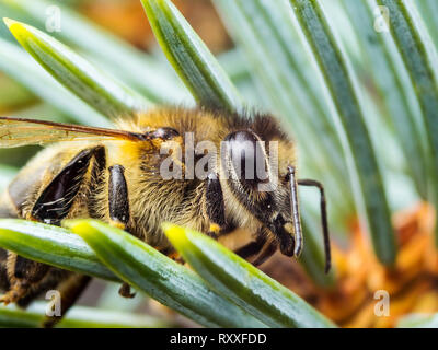 Honey Bee Insect on Fir Tree - Stock Photo