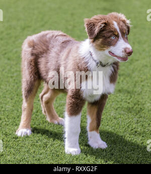 Red Tri Australian Shepherd Puppy. - Stock Photo
