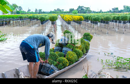 Farmer rowing daisies garden harvest buds flower pots also allocated to traders afar spring morning in   Sa Dec village flower