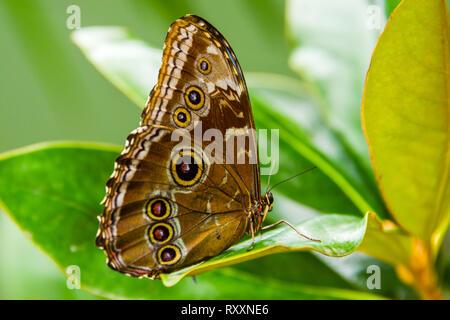 Blue Morpho Butterfly - Stock Photo