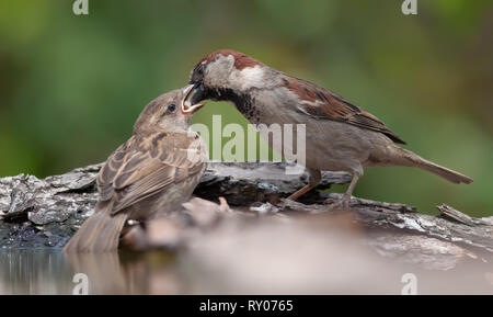 House sparrow feeding his baby mouth to mouth - Stock Photo