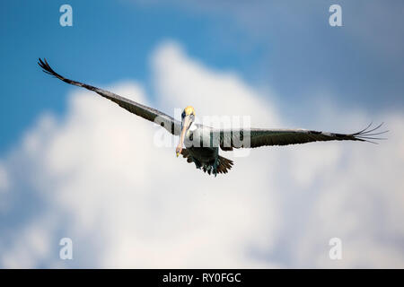 Ein Pelikan fliegt mit ausbreiteten Fluegeln bei THEMENBILD Florida, 06.02.2017 Bildnachweis: Mario Hommes / HH-Photography - Stock Photo