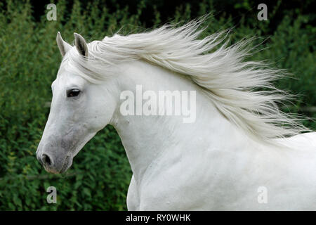 Andalusier, Cantudo VI, Spanisches Pferd, PRE, Deutschland, Schimmel - Stock Photo