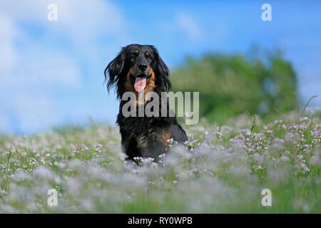Hovawart, schwarz-marken - Stock Photo