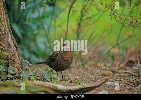 Schwarzdrossel, Amsel, Weibchen, (Turdus merula) - Stock Photo