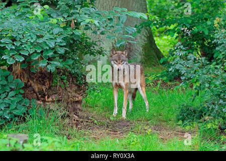 Europaeischer Wolf, (Canis lupus lupus), Deutschland - Stock Photo