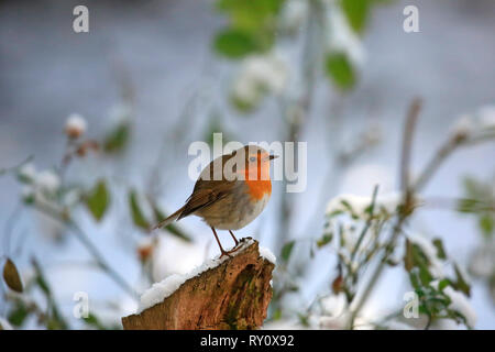 Rotkehlchen, (Erithacus rubecula) - Stock Photo