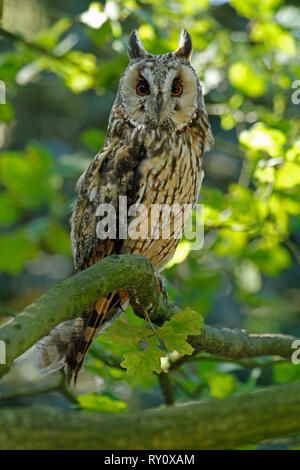 Waldohreule, (Asio otus) - Stock Photo