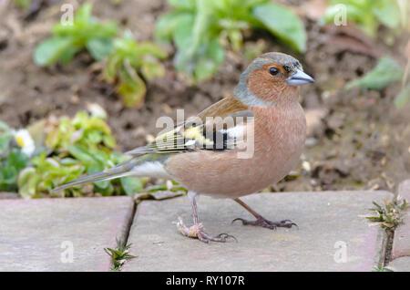 Male Common Chaffinch, Lower Saxony, Germany, (Fringilla coelebs) - Stock Photo