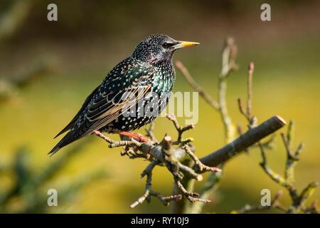 common starling, (Sturnus vulgaris) - Stock Photo