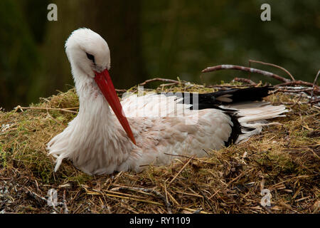 white stork, (Ciconia ciconia) - Stock Photo